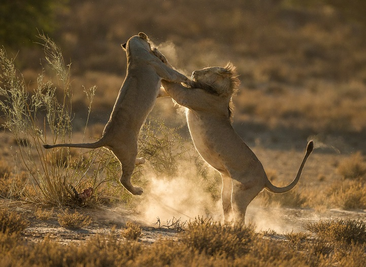 Two lions fighting in the Kgalagadi Transfrontier Park, South Africa.