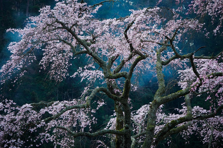Cherry blossoms like a Japanese painting. The smoke of the bonfire of old paper charms has brought a fantastic effect.