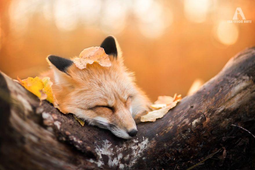 Sweet Cute Wallpapers For Desktop Trending Meet Freya The Beautiful Fox I Photographed In