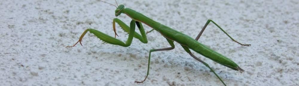 Green Mantis - Mantis religiosa - Zelena bogomoljka