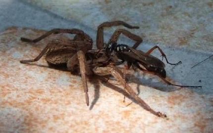 Wasp fighting a spider - Osa najeznica u duelu s paukom