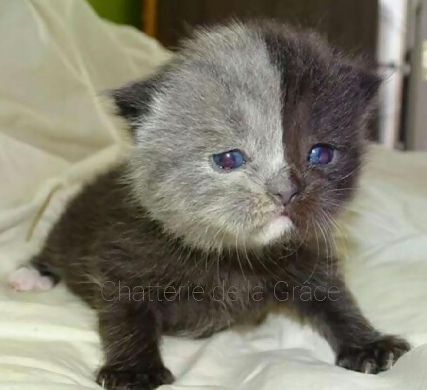 two-faced-cat-british-short-hair-france-jean-michel-labat-4-9mood