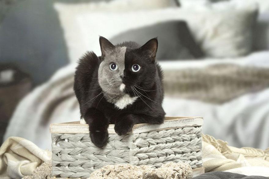 two-faced-cat-british-short-hair-france-jean-michel-labat-9Mood-11