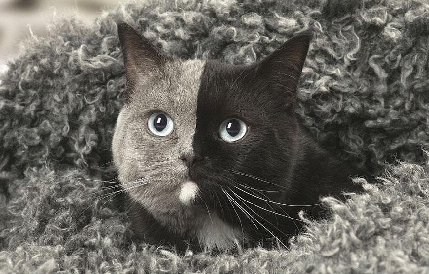 two-faced-cat-british-short-hair-france-jean-michel-labat-9Mood-12