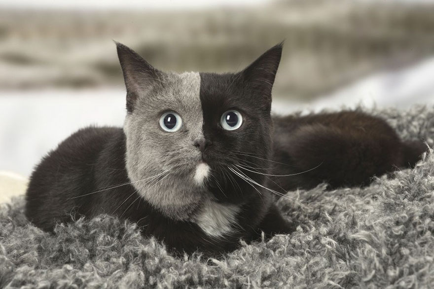 two-faced-cat-british-short-hair-france-jean-michel-labat-9Mood-6