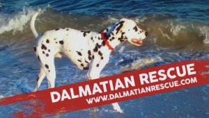 Dalmatian Banner