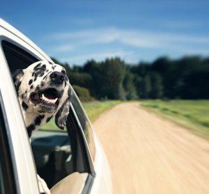 Dalmatian Taking a Ride