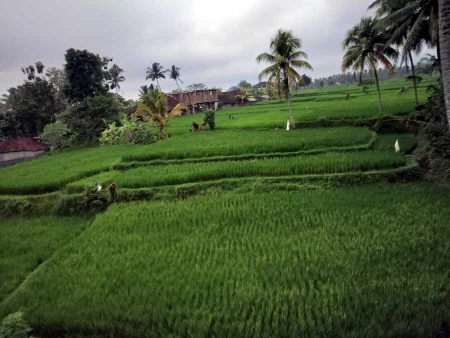 Rice Fields in Petulu Bali's Heron Village Laidbacktraveller.com Laid Back Traveller