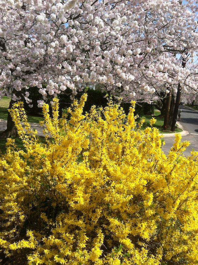 Washington DC cherry blossoms: cherry and forsythia blossoms