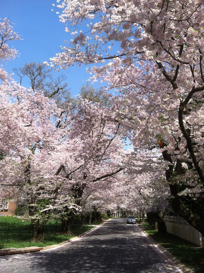 Washington DC cherry blossoms: cherry trees in Kenwood Maryland