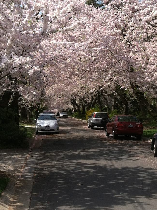 Washington DC cherry blossoms: canopy of cherry trees