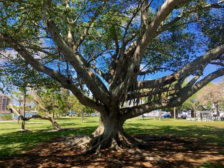magnificent oak tree at Sarasota Waterfront