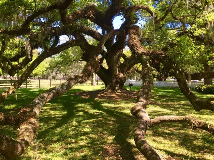 magnificent live oak tree at Destrehan Plantation