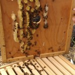 Village Life: Honey Bee Health Update