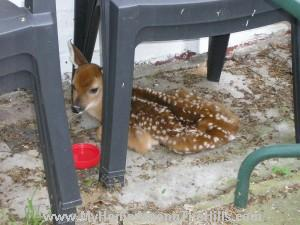 naptime for fawn