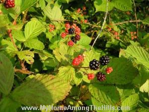 WV Blackberries
