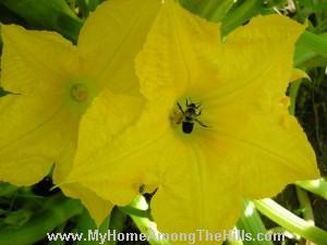 Bumblebee in yellow squash flower