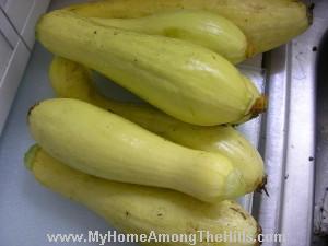 Yellow squash harvest