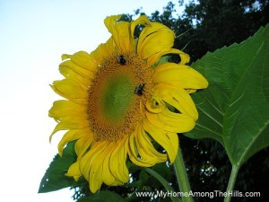 Bumblebees on sunflower