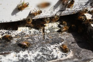 Close-up of honeybees