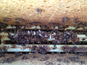 Looking down into the hive.  Notice the white pupa with purple eyes