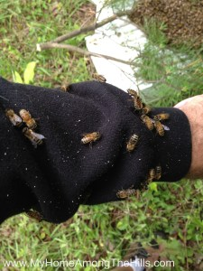 Bees from the swarm on my arm