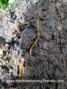 Long Brown Centipede