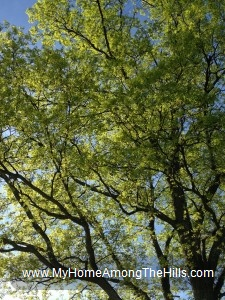 Beautiful tree in early leaf