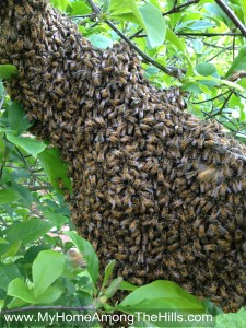 Swarm of honeybees!