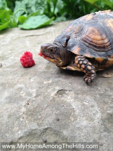 Eastern Box Turtle eating a raspberry