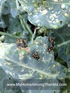 Harlequin Beetles mating