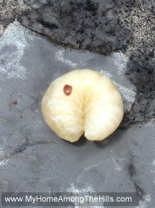 Varroa mite on honeybee larva