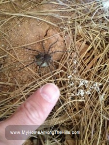Wolf spider on her egg sac