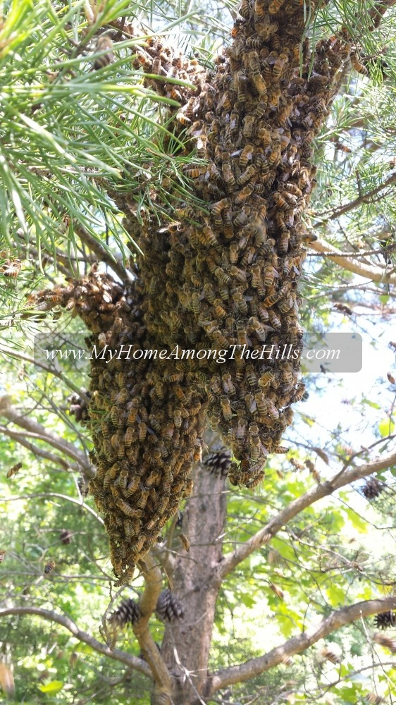 A swarm in a pine tree