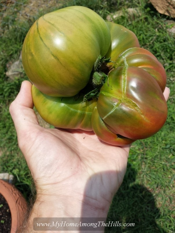 A huge tomato!