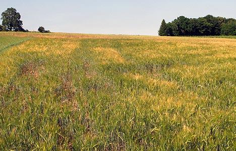 wpid-468Trockenheit-verursacht-notreifes-Getreide-2011-06-6-21-44.jpg