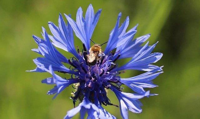 Cornflower Violet Flower Blossom
