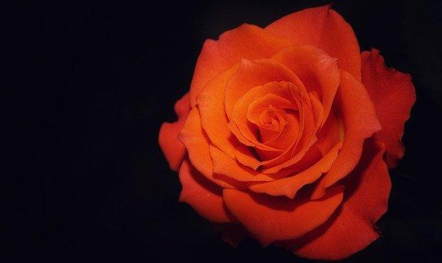 Macro Flower Rose Throat Blooming