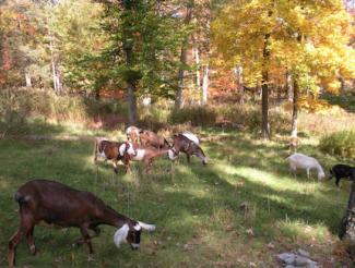 NSL175_Goats_Open Field