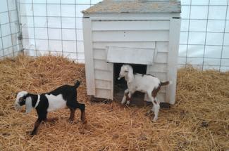 NSL175_Goats_Winter
