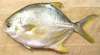 White pomfret silver pomfret pompano palmburo fish for Pompano fish good to eat