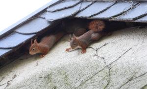 roof squirrels
