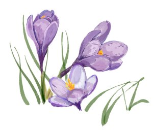 Watercolor Purple Crocus