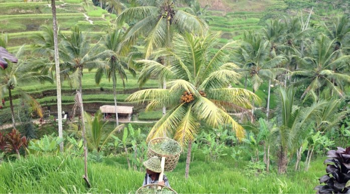 Bali - Rice paddies
