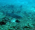 Whitetip Reef Shark - they like to hang out near the ocean floor