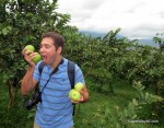 Eating hand-picked guava as I pick these fresh fruits in Java, Indonesia!