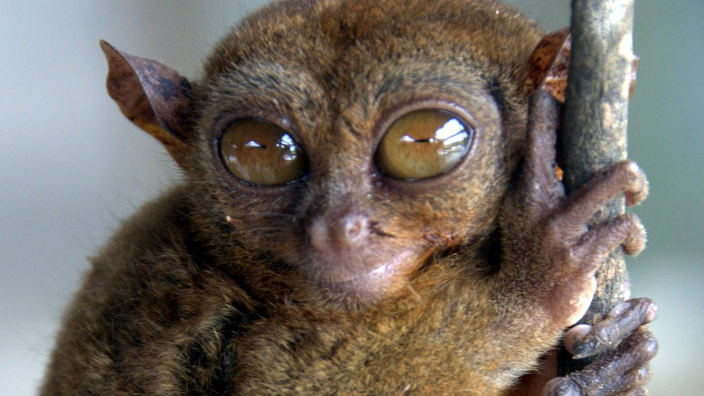 Tarsier in Bohol, Philippines   Photo by Todd L. Cohen   Visit50.com