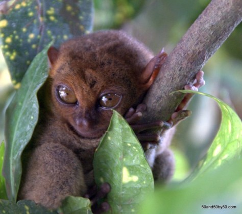 Philippine Tarsier in Bohol, Philippines | Photo by Todd Cohen | 50and50by50.com