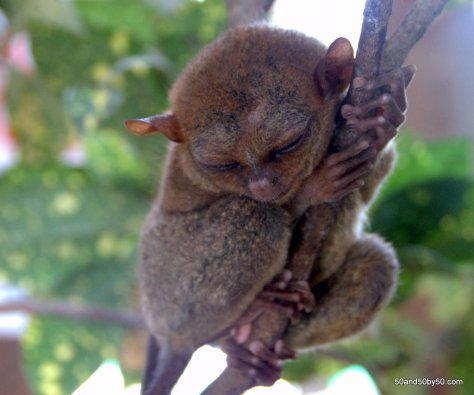 Sleeping tarsiers - they're nocturnal primates | Bohol, Philippines | Photo by Todd Cohen | 50and50by50.com