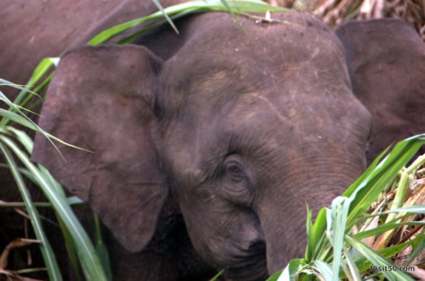 Look at the size of this elephant's ears compared with its head in this close-up. Photo from Malaysian Borneo in Sabah
